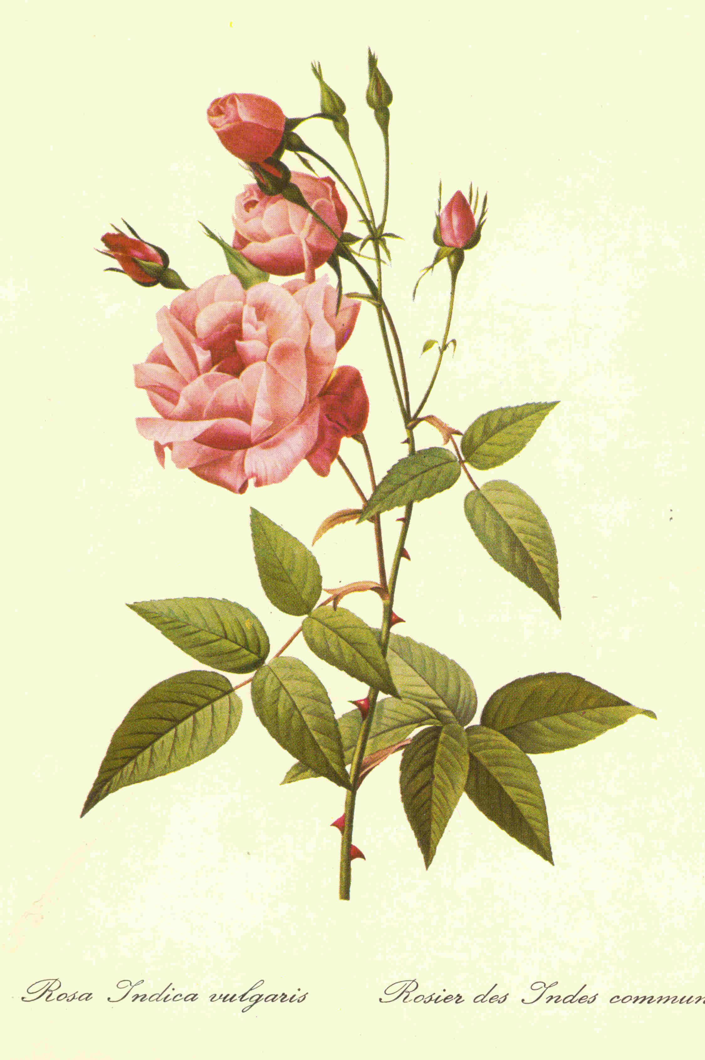 Carte ancienne de fleurs.